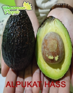 Alpukat Hass – alpukat import,buah paling dicari di pasaran