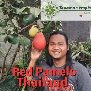 Jual Bibit Jeruk Pamelo Merah – Red Pemelo Langka dari Thailand
