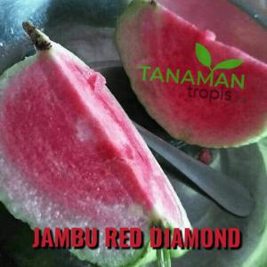 Jambu Red Diamond - Jambu langka yang banyak diburu dengan rasa buah yang renyah dan tanpa biji
