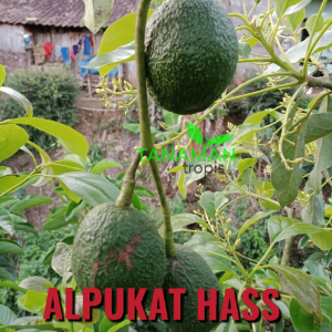 jual bibit Alpukat Hass – alpukat import,buah paling dicari di pasaran