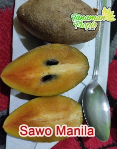Bibit Sawo Manila – Primadona Buah Dengan Rasa Manis
