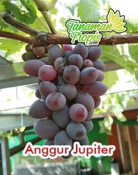 bibit anggur jupiter unggul