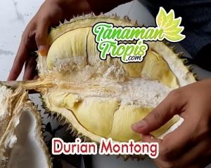 harga bibit durian montong unggul