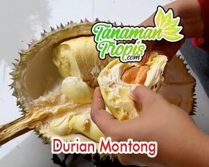 jual bibit durian montong unggul