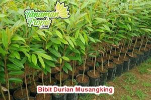 Harga bibit durian musangking unggul