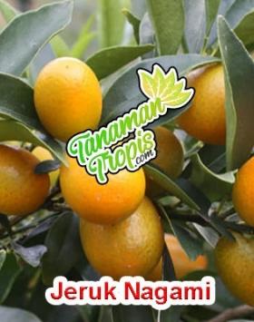 jual bibit jeruk nagami unggul