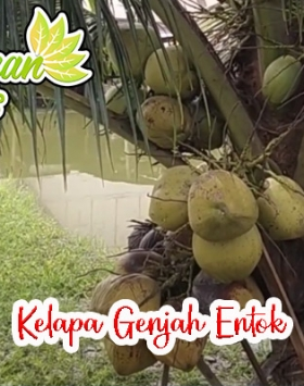Jual bibit kelapa genjah entok unggul