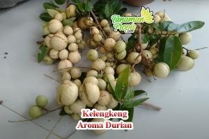 jual bibit kelengkeng aroma durian