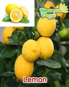 Jual Bibit Buah Lemon - buah kaya manfaat dan mudah ditanam