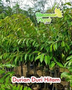 harga bibit durian duri hitam unggul