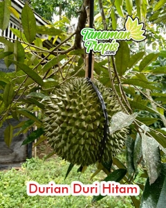 jual bibit durian duri hitam unggul