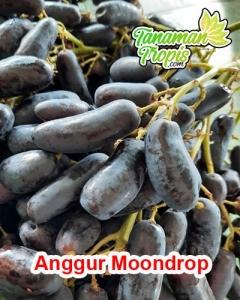 bibit anggur moondrop import