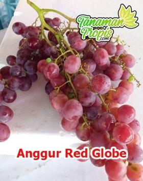 jual bibit anggur red globe