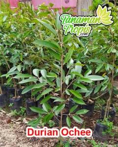 jual bibit durian ochee