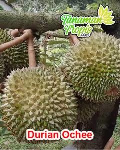 bibit durian ochee