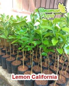 jual bibit lemon california