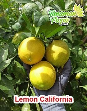 harga bibit lemon california