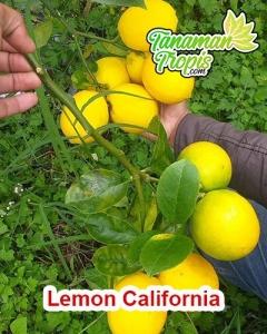 bibit lemon california unggul