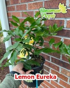 jual bibit lemon eureka