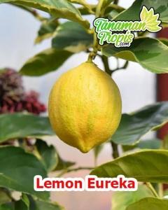 bibit lemon eureka unggul
