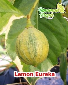 harga bibit lemon eureka