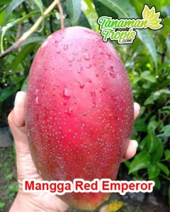 bibit mangga red emperor