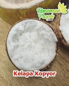 bibit kelapa kopyor unggul
