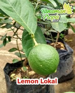 bibit lemon lokal hijau