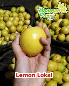 jual bibit lemon lokal