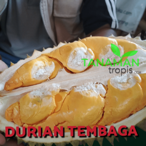 keunggulan durian super tembaga