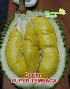 Jual Bibit Tanaman Durian Super Tembaga - 100% ASLI