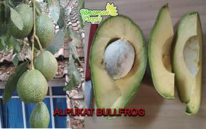 Alpukat Bullfrog - Keunggulan dan Cara Perawatan
