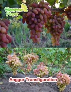 Anggur Transfiguration - Buah merah dan sangat Produktif