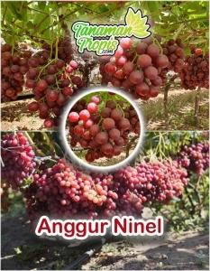 Bibit Anggur Ninel - Manis dan Mudah Berbuah di Indonesia